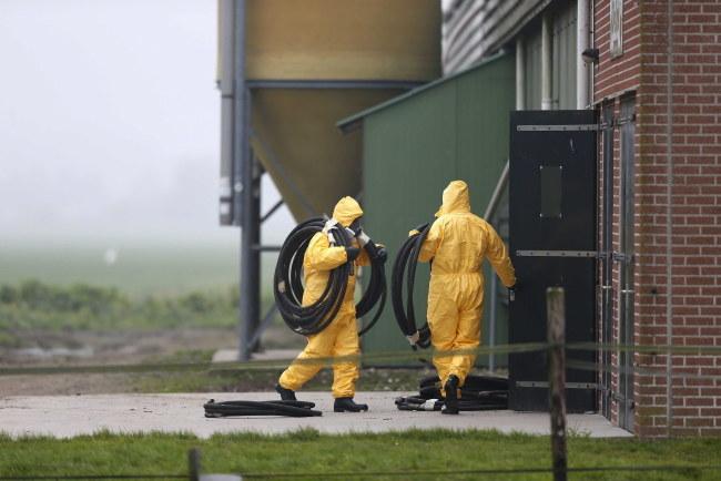 Ptasią grypę wykryto w Zoeterwoude, gminie na zachodzie Holandii /JERRY LAMPEN /PAP/EPA