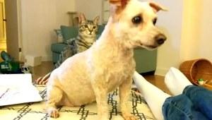 Pudel zmienił fryzurę. Co na to kot?