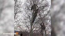Puma weszła na drzewo i nie chciała zejść. Interweniowali strażnicy leśni
