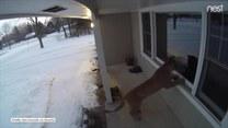 Puma zagląda do okna w poszukiwaniu jedzenia. Władze próbują ją złapać