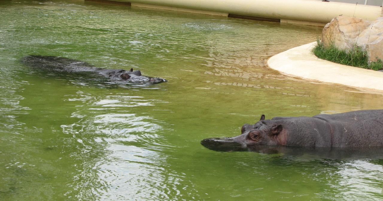 Randka hipopotamów w Warszawie - bez agresji i seksu
