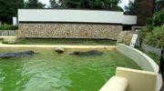 *       Randka hipopotamów w Warszawie