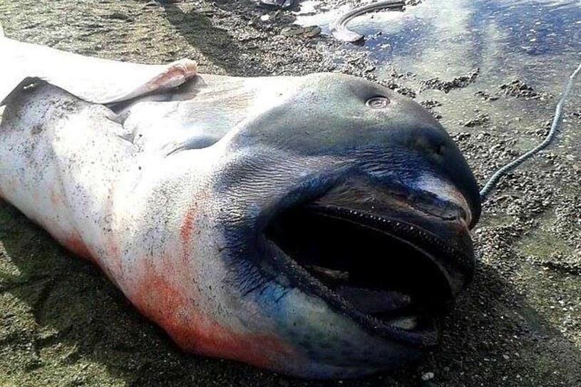 Rekin wielkogębowy znaleziony przez rybaków /Twitter