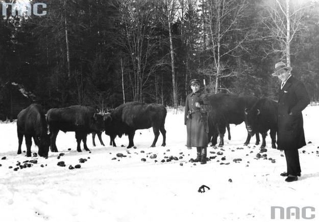 Rezerwat żubrów w Puszczy Białowieskiej /Z archiwum Narodowego Archiwum Cyfrowego