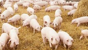 RMF: Afrykański pomór świń w gospodarstwie na Podlasiu