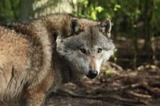 RMF: Wilk pogryzł dwoje dzieci. Zwierzę zastrzelono