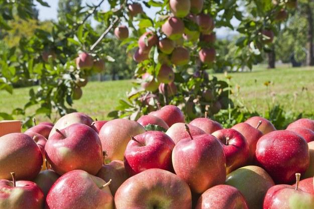 Rolnicy będą musieli zawierać specjalne umowy z pracownikami pomagającymi w zbiorach /123RF/PICSEL
