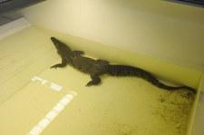 Rosja: Krokodyl w piwnicy petersburskiego domu