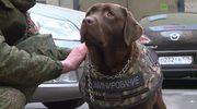 Rosjanie zaprezentowali kamizelkę kuloodporną dla psów