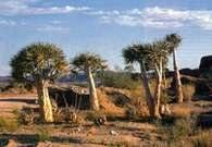 Roślinność pustynna: drzewa kauczukowe, Namibia /Encyklopedia Internautica
