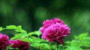 Rośliny, które  pięknie  pachną