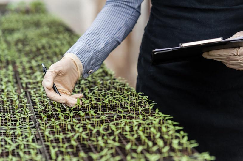 Rośliny modyfikowane genetycznie jednak są bezpieczne? /123RF/PICSEL