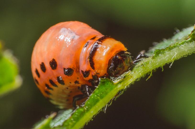 Rośliny wytwarzające feromony sprawią, że nie będziemy musieli stosować pestycydów? /123RF/PICSEL