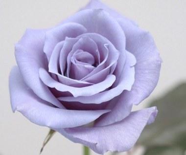 Róża w kolorze blue