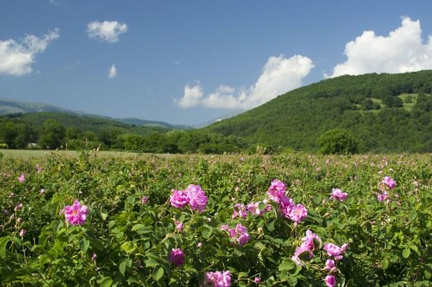 Różana pole w Bułgarii /123/RF PICSEL