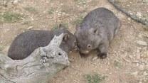 Rozkoszna zabawa rodzeństwa wombatów