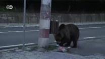 Rumunia. Dzikie niedźwiedzie atakują ludzi w miastach
