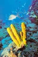 Rurowate gąbki (Aplysina spp.) /Encyklopedia Internautica