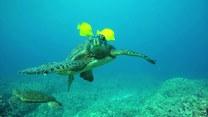 Rybki pomagają żółwiowi w codziennej pielęgnacji