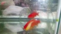 Ryby nie potrafią wypłynąć ze szklanej kuli