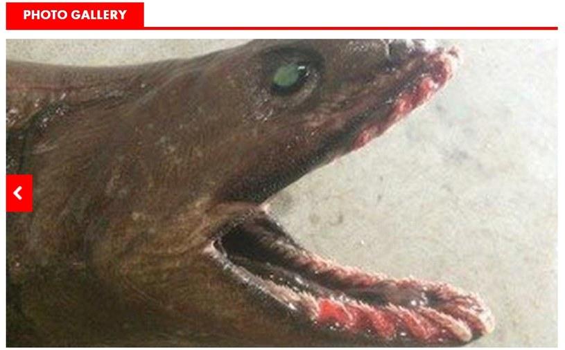 Rzadki rekin złapany w Australii. Fot: www.ktvq.com /
