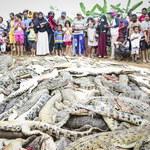Rzeź na farmie krokodyli. Zabili 300 zwierząt w odwecie za śmierć sąsiada