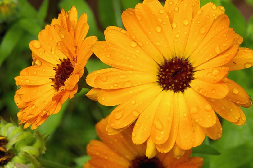 Są zioła, które mogą wywołać alergię, gdy tylko znajdziesz się w ich pobliżu w słoneczny dzień /123RF/PICSEL