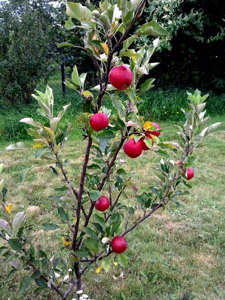 młoda jabłonka i malutkie jabłuszka