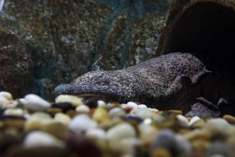 Salamandra olbrzymia chińska może wkrótce wyginąć /123RF/PICSEL