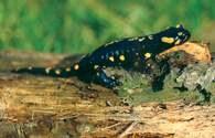 Salamandra /Encyklopedia Internautica