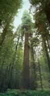 Sekwoje, Park Narodowy Redwood /Encyklopedia Internautica