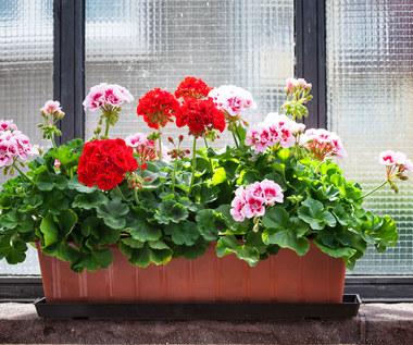 Siedem pięknych i trwałych roślin balkonowych