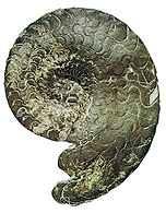 Skamieniałość głowonoga sprzed 280 mln lat /Encyklopedia Internautica