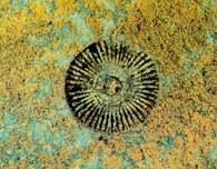 Skamieniałości: Skamieniała łodyga liliowca /Encyklopedia Internautica