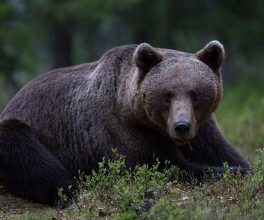 Skiba na tropie niedźwiedzi