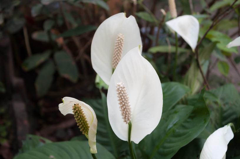 Skrzydłokwiat pomoże w walce ze smogiem /123RF/PICSEL