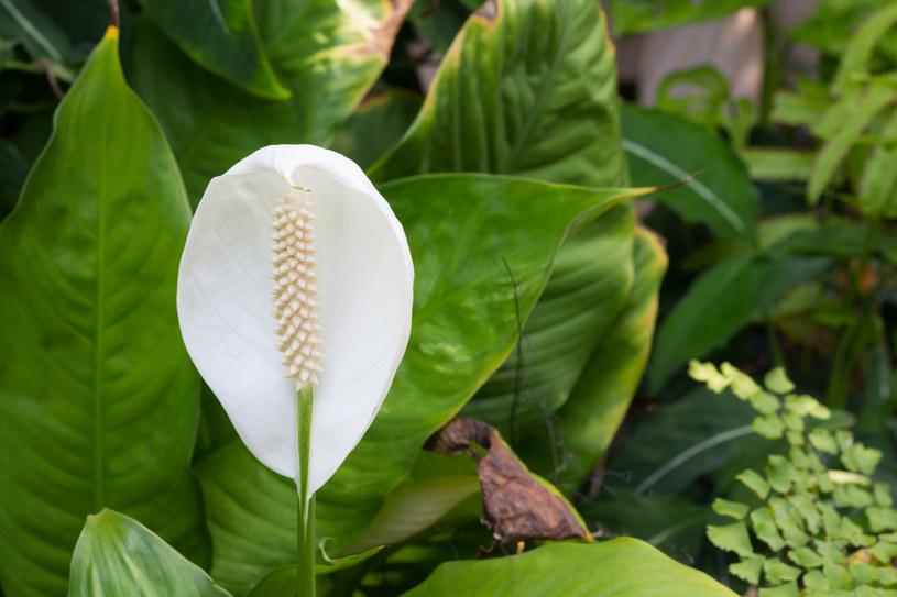 Skrzydłokwiat potrafi oczyścić sypialnię ze szkodliwych oparów /123/RF PICSEL