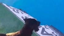 Słodki szczeniaczek uczy się skoków do wody