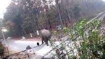 Słoń na przejeździe kolejowym