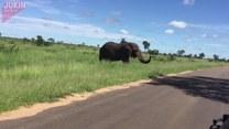 Słoń napędził im strachu