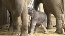 Słoń przyszedł na świat w praskim zoo