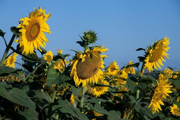 Słonecznik jest zdrowy i warto jeść jego ziarna /123/RF PICSEL