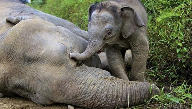 Słonie płacą najwyższą cenę za kaprys człowieka/AFP /New York Times/©The International Herald Tribune