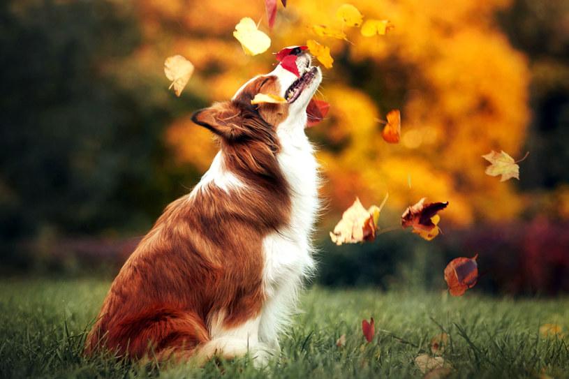 Spacer z psem w jesienne, chłodne i deszczowe dni nie musi byc udręką dla jego właściciela /©123RF/PICSEL