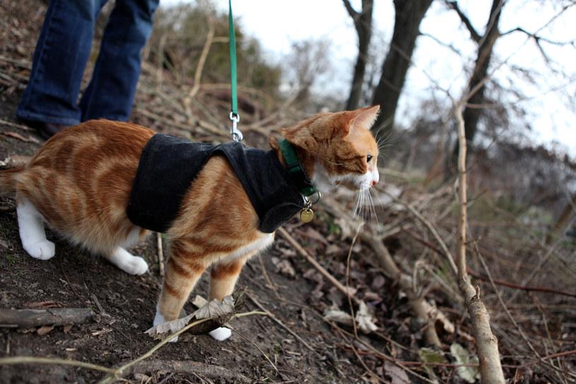 Spacery na smyczy są nie tylko dla psów. fot. Suzanne DeChillo /The New York Times Syndicate
