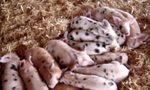 Śpiące prosiaczki