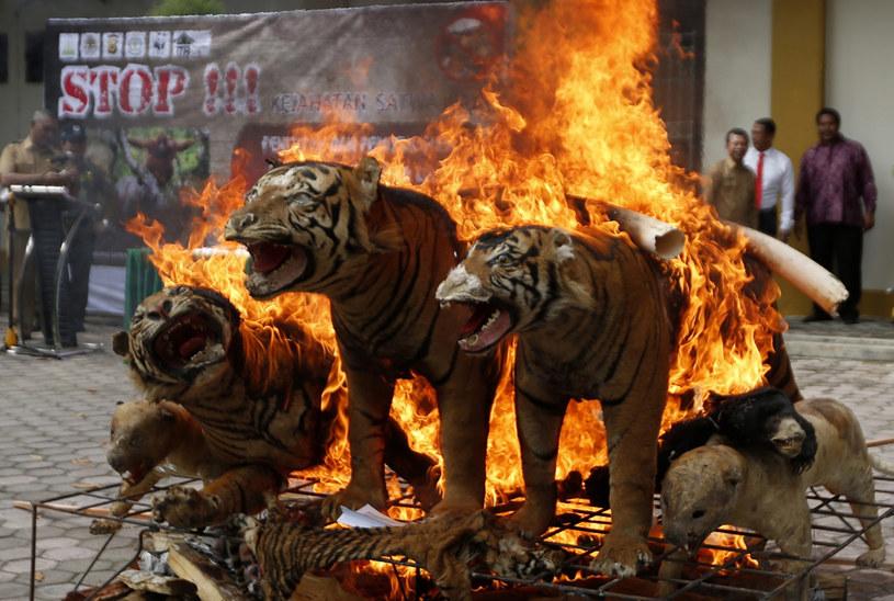 Spłonęły nawet tygrysy /HOTLI SIMANJUNTAK    /PAP/EPA
