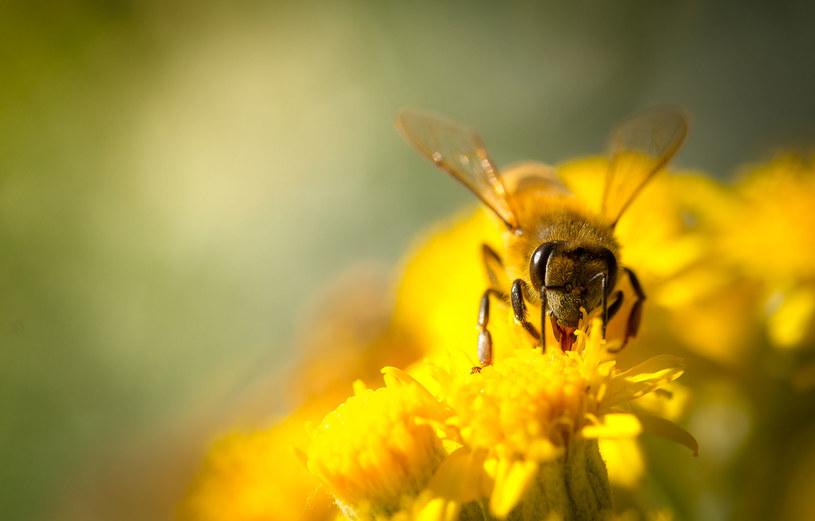 Spośród 470 gatunków owadów zapylających aż 222 są zagrożone wyginięciem! /123RF/PICSEL