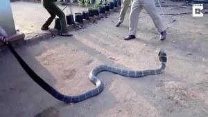 Spragniona kobra królewska przyszła do ludzi po wodę