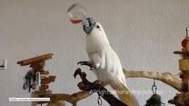Spragniona papuga gasi swoje pragnienie